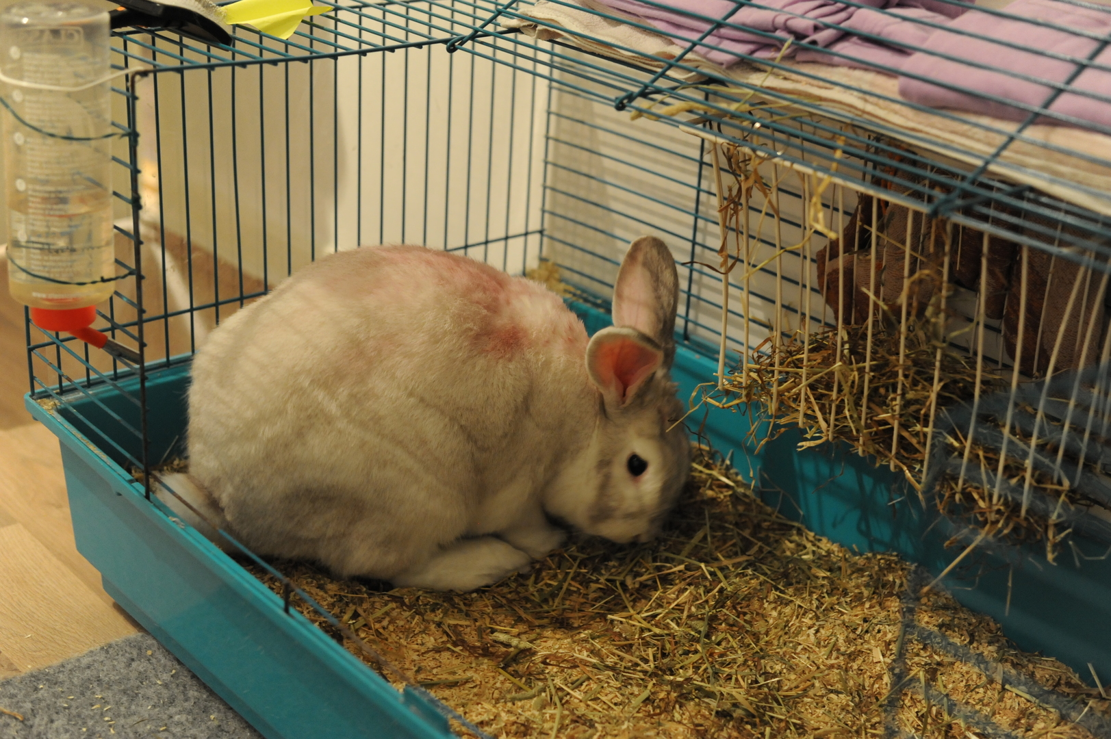 Beetroot-colored rabbit, picture 3